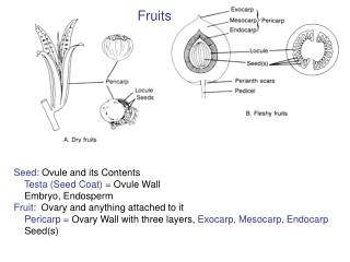 Seed:  Ovule and its Contents Testa (Seed Coat) =  Ovule Wall     Embryo, Endosperm