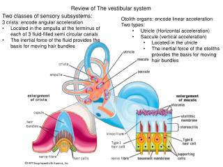 Review of The vestibular system
