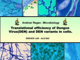 Translational efficiency of Dengue 		 	Virus(DEN) and DEN variants in cells.