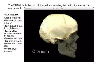 The CRANIUM is the part of the skull surrounding the brain. It encloses the cranial vault.