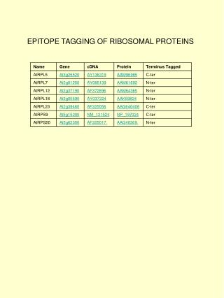 EPITOPE TAGGING OF RIBOSOMAL PROTEINS
