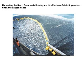 Harvesting the Sea -  Commercial fishing and its effects on Osteichthyean and