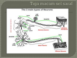 Tiga macam sel saraf