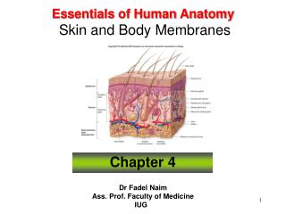 Essentials of Human Anatomy Skin and Body Membranes