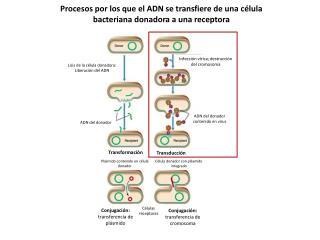 Lisis de la célula donadora: Liberación del ADN