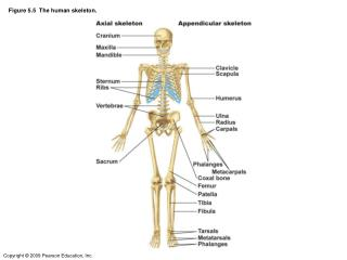 Figure 5.5  The human skeleton.