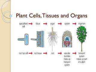 Plant Cells, Tissues and Organs