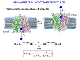 1. Facilitated diffusion via a glucose transporter