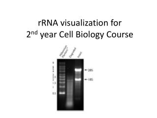 rRNA  visualization for  2 nd  year Cell Biology Course