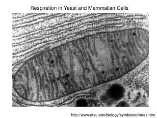Respiration in Yeast and Mammalian Cells