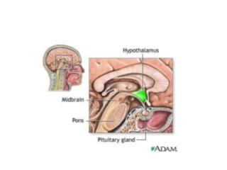 Hypothalamus is a bridge between the nervous system and endocrine system