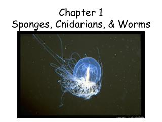 Chapter 1 Sponges, Cnidarians, & Worms