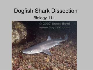 Dogfish Shark Dissection