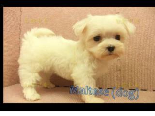 Maltese (dog)