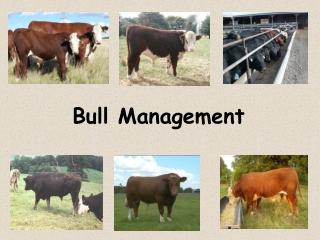 Bull Management