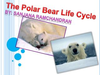 The Polar Bear Life Cycle