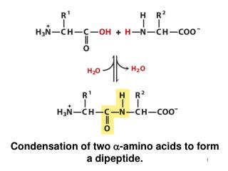 Condensation of two  a -amino acids to form a dipeptide.