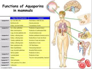 Functions of Aquaporins in mammals