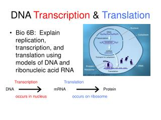 DNA  Transcription  &  Translation