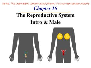 Chapter 16 The Reproductive System Intro & Male