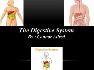 The Digestive System By : Connor Allred