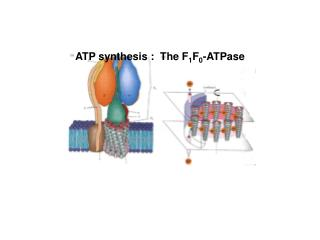 ATP synthesis :  The F 1 F 0 -ATPase