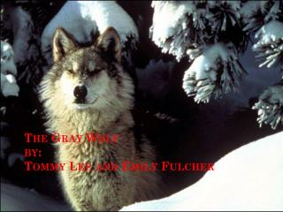 The Gray Wolf by: Tommy Lee and Emily  Fulcher