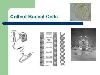 Collect Buccal Cells