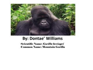 ?Scientific Name:  Gorilla beringei ?Common Name: Mountain Gorilla