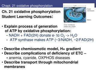 Chapt. 21 oxidative phosphorylation