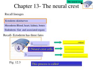Chapter 13- The neural crest