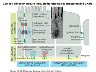 Cell-cell adhesion occurs through morphological structures and CAMs