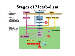 Stages of Metabolism