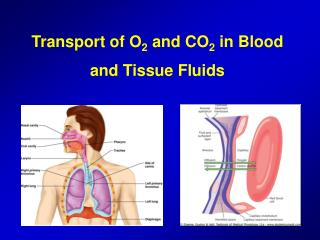 Transport of O 2  and CO 2 in Blood and Tissue Fluids