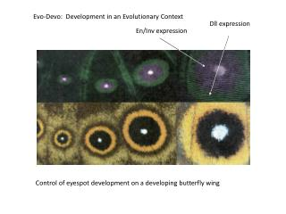Evo-Devo:  Development in an Evolutionary Context
