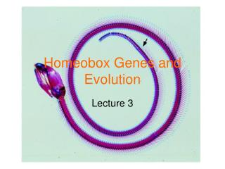Homeobox Genes and Evolution