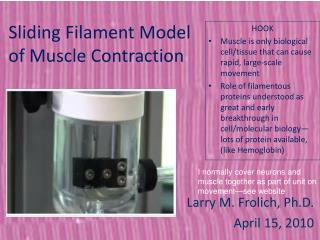Sliding Filament Model  of Muscle Contraction
