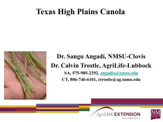 Texas High Plains Canola