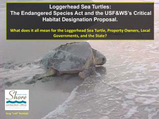 Loggerhead Sea Turtles:
