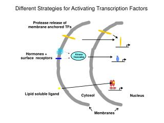 Different Strategies for Activating Transcription Factors