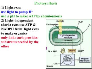 Photosynthesis  1) Light rxns use light to pump H + use ∆ pH to make ATP by chemiosmosis