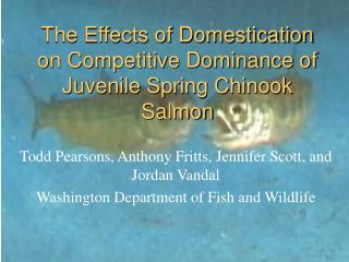 The Effects of Domestication on Competitive Dominance of Juvenile Spring Chinook Salmon