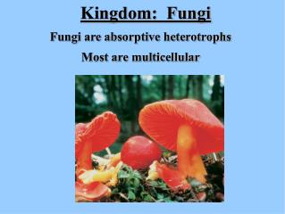 Fungi are absorptive heterotrophs Most are multicellular