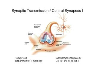 Synaptic Transmission / Central Synapses I