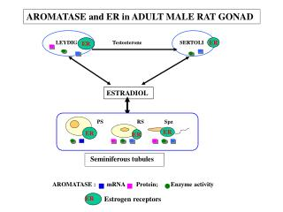 AROMATASE :       mRNA       Protein;        Enzyme activity
