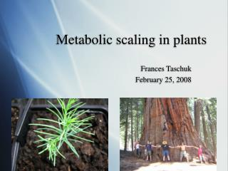 Metabolic scaling in plants