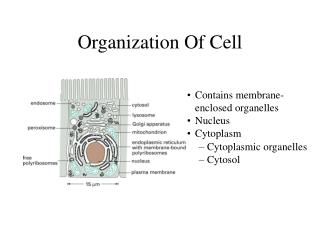 Organization Of Cell