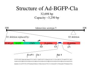 Structure of Ad-BGFP-Cla
