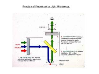 Principle of Fluorescence Light Microsocpy.