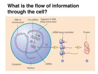 What is the flow of information through the cell?